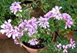 "Citronella Mosquito Plant - Pelargonium - West Nile Virus - 4"" Pot"