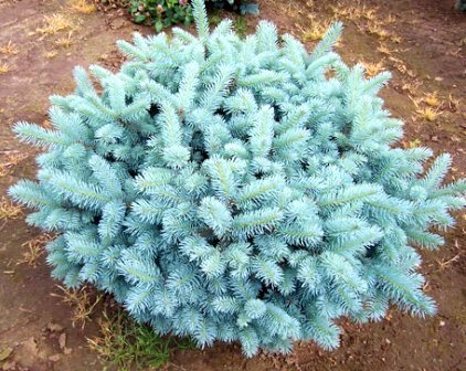 Amazon.com : Globosa Colorado Blue Spruce 1 - Year Live Plant ...