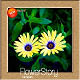 Time-Limit!!Osteospermum Seeds Potted Flowering Plants Blue Daisy Flower Seeds for DIY Home & Garden,50 Seed/Pack,#9RE7UA