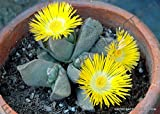 RARE PLEIOSPILOS COMPACTUS mesemb mesembs rock living stones seed 20 SEEDS