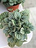 """6"""" Silver Ripple peperomia caperata Live Plant"""