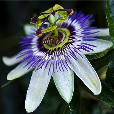 Hot `20 pcs New Rare RARE EXOTIC PASSION Flowers Seeds EDIBLE FRUIT Passiflora edulis Fresh PASSION Seeds