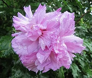 Amazoncom 50 Light Pink Double Rose Of Sharon Hibiscus Syriacus