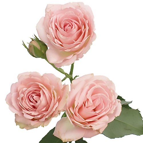 Farm2Door: 60 Stems of Long Stemmed (40cm) Pink Spray Roses from Ecuador - Farm Direct Wholesale Fresh Flowers