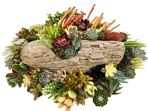 10 Assorted Live Succulent Cuttings, No 2 Succulents Alike, Great for Terrariums, Mini Gardens, and as Starter Plants by The Succulent Cult by The Succulent Cult (Image #3)
