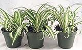 Ocean Spider Plant - 4'' Pot 3 Pack for Better