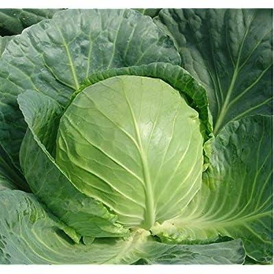 Premium Cabbage Seeds, 300+ Premium Heirloom Seeds, Non GMO, 90% Germination Rates, Highest Quality Seeds : Garden & Outdoor