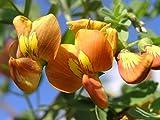 Bladder Senna - Colutea Arborescens - 1 Pkt of 25 seeds - Ornamental Shrub