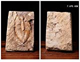 Sunnyhill Real Trilobite Fossil Come from Western