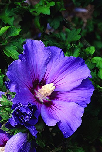 Attractive Bluebird Hardy Hibiscus - Rose of Sharon Potted Plant 6-12