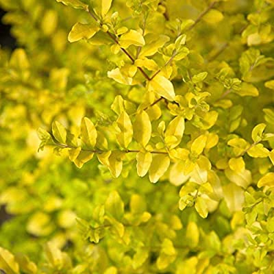 Southern Living Sunshine Ligustrum Shrub Plants : Garden & Outdoor