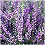 9cm Pot Heather Calluna Vulgaris Spring Torch Spring Charm Small