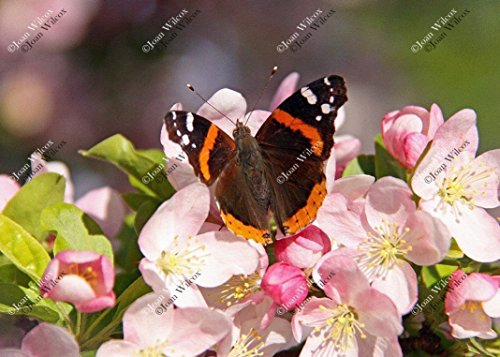 Red Admiral Butterfly on Spring Pink Cherry Apple Blossoms Butterflies Original Fine Art Photography Wall Art Photo -