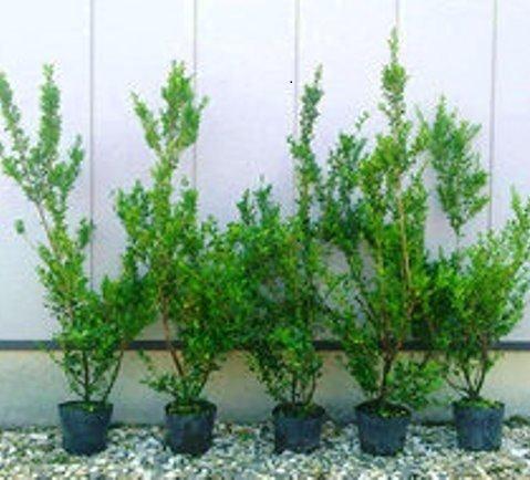 イヌツゲ 樹高80cm前後 5本セット B01NBHWI61