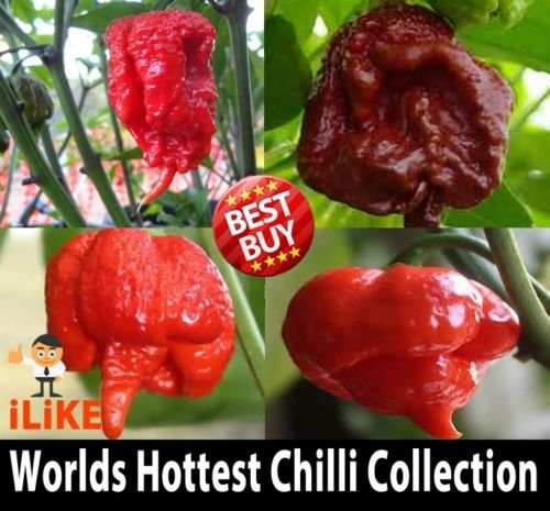 Collection Chilli (Worlds Top 4 Hottest Chilli Pepper Collection 40 Seeds Minimum. 100% Pure. Hot.)