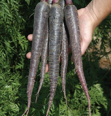 David's Garden Seeds Carrot Deep Purple D2737AN (Purple) 500 Hybrid Seeds