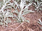 Dusty Miller Live Plants 25 Plants with mature roots.