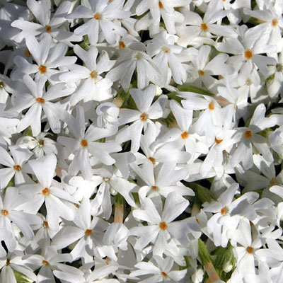 Snowflake Creeping Phlox Perennial - Quart Pot : Flowering Plants : Garden & Outdoor