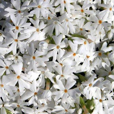 Plant Creeping Phlox - Snowflake Creeping Phlox Perennial - Quart Pot