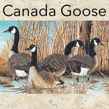 Canada Goose 4 Canadian Geese On Water Panel Northcott cotton Fabric DP21824-42