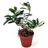 Olea europaea, Olive Tree for Miniature Garden, Fairy Garden
