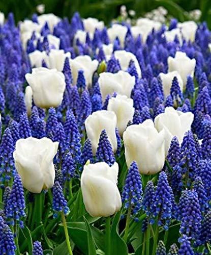GARTHWAITE Nurseries : - 30 Spring Bulbs Blue and White Collection 12 Tulips & 18 Muscari Spring Perennials (Collection Perennial Tulip)
