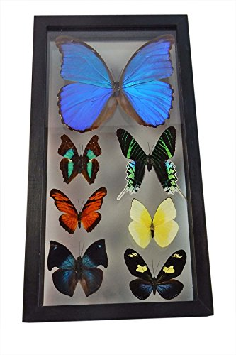 Amazing Blue Morpho Butterfly with Additional 6 Amazing Assorted Butterflies, Professionally Mounted, with Beverly Oaks Certificate of - Butterfly Frames Glasses