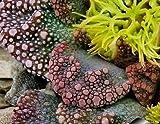 Titanopsis Calcarea succulent cactus 15 seeds~living Stones~Not Astrophytum
