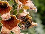 50+ Reddish Bronze Foxglove Digitalis Ferruginea Flower Seeds / Deer Resistant Perennial