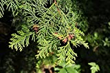 146 Seeds of Chamaecyparis obtusa, Hinoki Cypress, Hinoki False Cypress, Japanese White Cedar