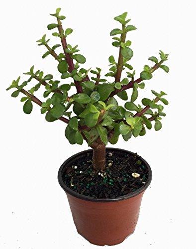 "Mini Jade Plant - Portulacaria afra - 4"" Pot"