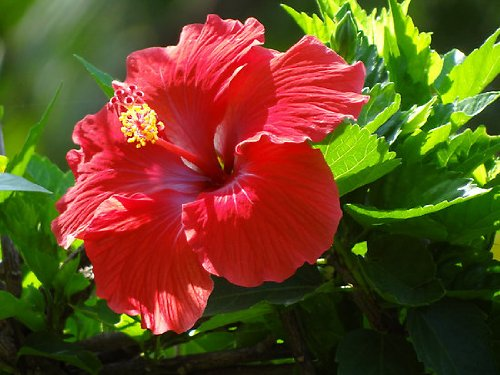 Rose of Sharon - Red - Bush/Shrub-Bare Root-Healthy Plant- 3 pack