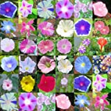 MORNING GLORY mix, over 20 different varieties