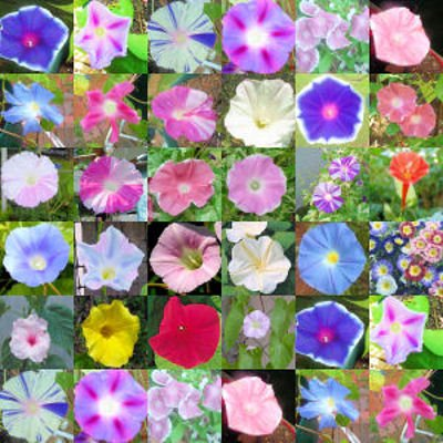 Amazon com : MORNING GLORY mix, over 20 different varieties