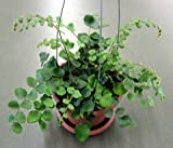 Cheap Jmbamboo – Button Fern 4″ Hanging Basket – Pellaea – Easy to Grow