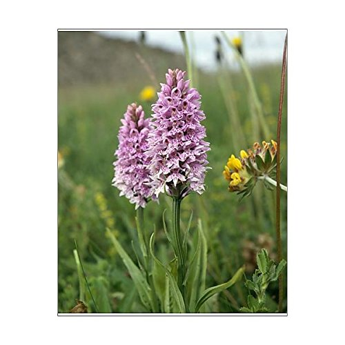 Media Storehouse 10x8 Print of Common Spotted Orchid K991351 ()