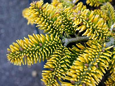 Golden Spreader Nordman Fir 2- Year PLANT