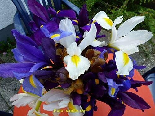 50 Blumenzwiebeln Iriszwiebeln Iris hollandica Prachtmischung
