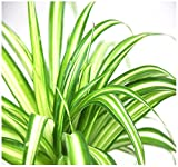 Variegated Spiders Plant CUTTINGS House Plant, Excellent Clean - Best Reviews Guide
