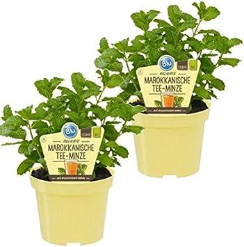 Bio Minze Marokkanische Tee-Minze 1 Pflanze Kr/äuter Pflanzen aus nachhaltigem Anbau, Mentha spicata