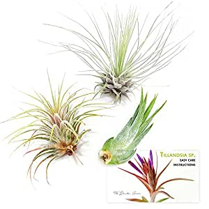 TDG The Drunken Gnome Tillandsia Air Plants Assorted Variety Pack, 3 Small