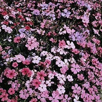 ANVIN Germination Seeds: Snowstar Seeds Seeds Viscaria Rosett 2,000 Flower Seeds