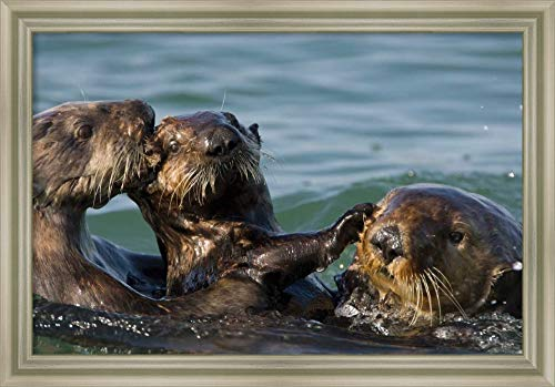Framed Canvas Wall Art Print | Home Wall Decor Canvas Art | Sea Otter Bachelor Male Chasing Mother with Three to six Month Old pup, Monterey Bay, California by Suzi Eszterhas | Modern Decor | Stretch