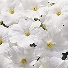 SUPERCASCADE WHITE Petunia Seeds - Excellent for Hanging Baskets, Very Large Blooms, Fresh Seed (30-35 seeds)
