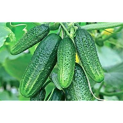 Seeds Cucumber Indoor F1 Room Early Self-pollinated Pickling Vegetable Organic Heirloom Ukraine : Garden & Outdoor