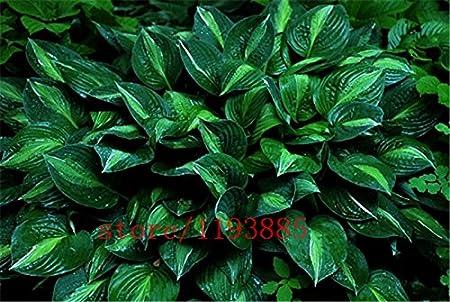 Amazon Com 100pcs Bag Hosta Plants Hosta Whirl Wind In Full