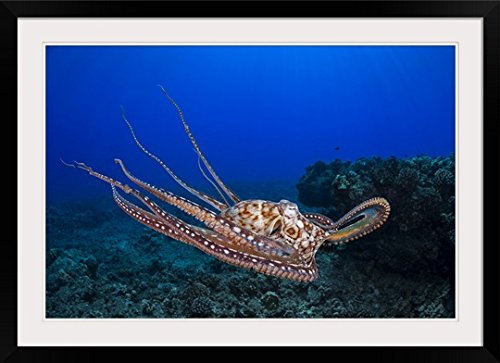 GreatBIGCanvas ''Day octopus, Maui, Hawaii'' by Dave Fleetham Photographic Print with Black Frame, 36'' x 24'' by greatBIGcanvas