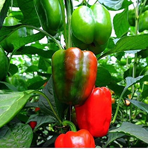 David's Garden Seeds Pepper Bell California Wonder SL3224 (Red) 50 Non-GMO, Organic, Heirloom Seeds