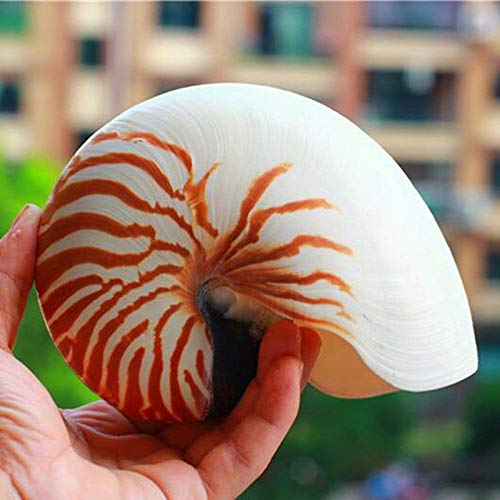 (FidgetGear 14-16cm 5.5-6.3inch Natural Nautilus Seashell Tiger Chambered Nautilus Pompilius)