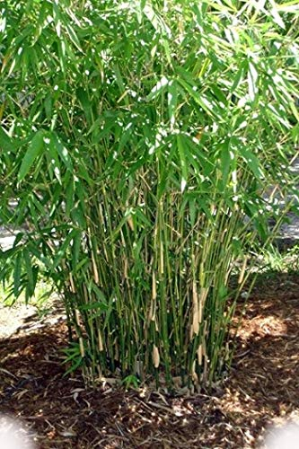 (Green Hedge Clumping Bamboo Plant - Bambusa Multiplex - One Gallon Size - Non-invasive Form)